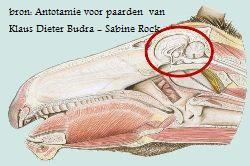 cranio plaatje schedel